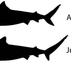 236x236 Fig. 6. Representative Tiger Shark Silhouettes Showing