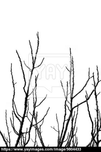 340x512 Tree Branches Silhouette Image