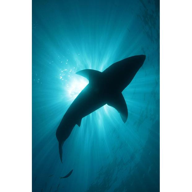 620x620 Smiling Great White Shark Underwater Photographer Amos Nachoum