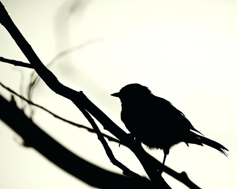 800x640 Black Bird Wallpaper Black And White Songbirds Black White Birds