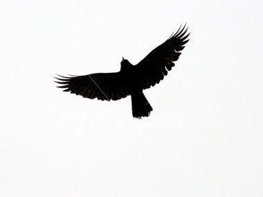 380x284 Crows Ravens, Raven Tattoo Ideas, Bird Stencil, Crow Tattoo Ideas