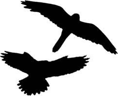 243x198 Kestrel Edinburgh Hawkwatch