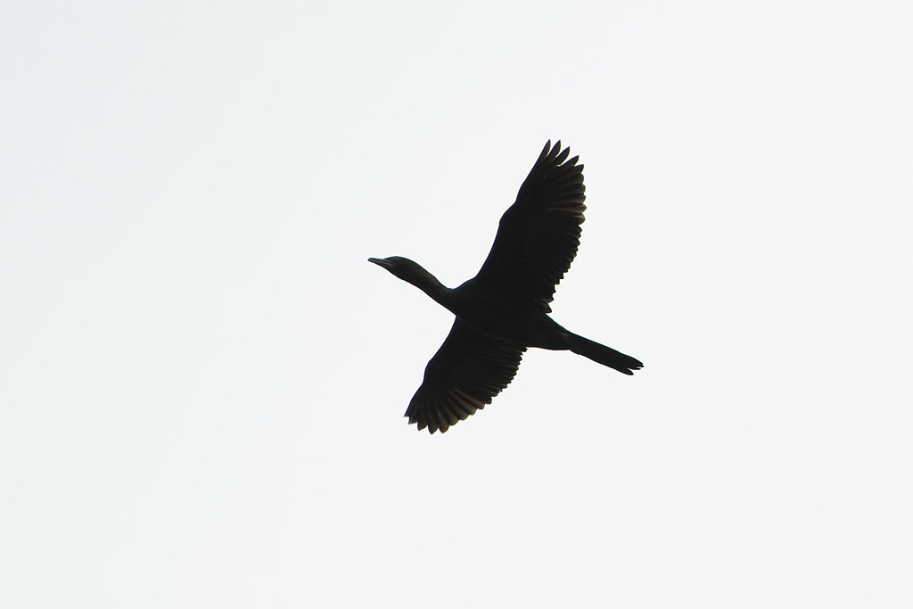 1024x683 Pygmy Cormorant Phalacrocorax Pygmeus Birds In Flight Id Guide