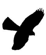 151x180 What Do Sparrowhawks Look Like Edinburgh Hawkwatch