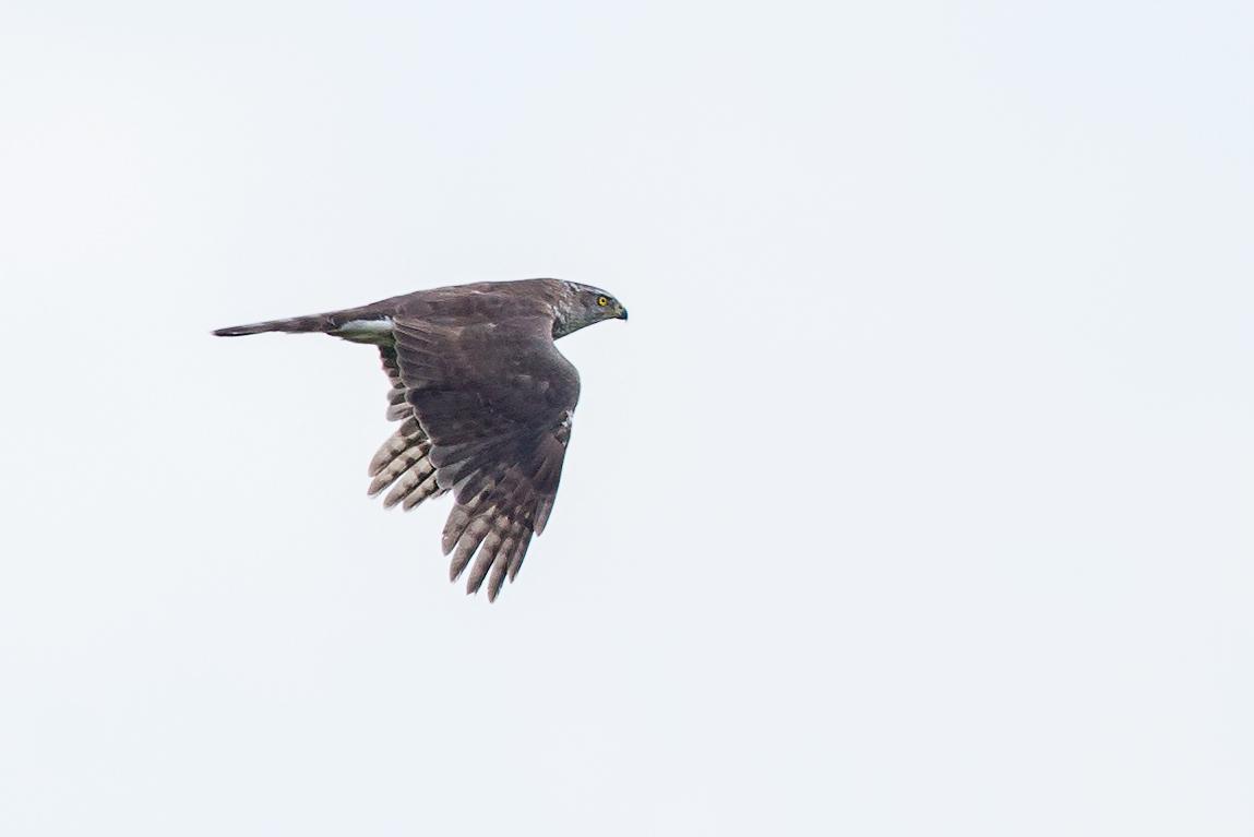 1149x767 Wildlife Diaries Northern Goshawk Flight Identification