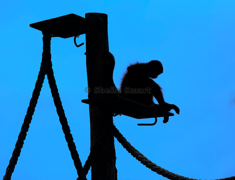 786x600 Sheila Smart Photography Spider Monkey In Silhouette
