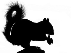 240x180 Standing Scoffing Squirrel Silhouette 3 Kintired