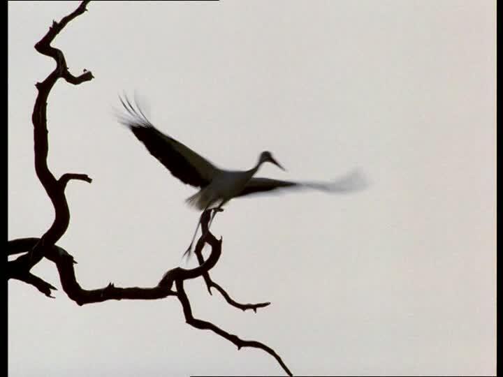 720x540 White Stork Silhouette Sd Stock Video 656 673 115 Framepool