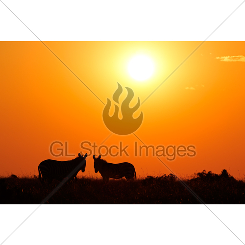 500x500 Zebra Silhouettes Gl Stock Images