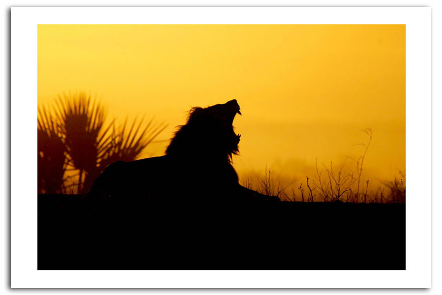899x600 Sunset Lion Roar Silhouette Prints