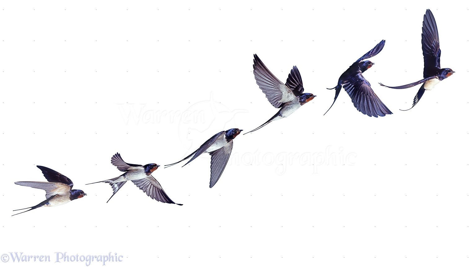 1520x862 Swallow In Flight Drawing