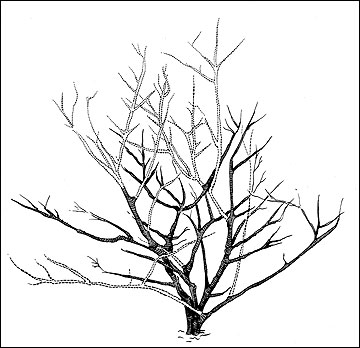 360x348 Drawn Shrub Plane Tree