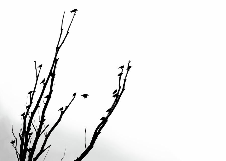 900x642 Birds Silhouette In Tree Black And White Photograph By Jennie
