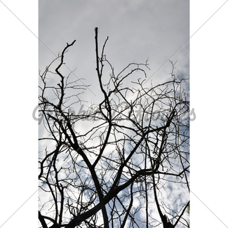 325x325 Oak Tree Branches Silhouette Gl Stock Images