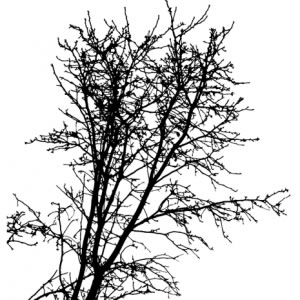 300x300 Tree Silhouette Vector