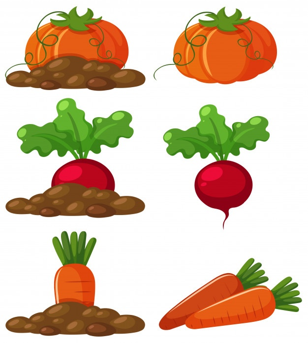 626x697 Beet Vectors, Photos And Psd Files Free Download
