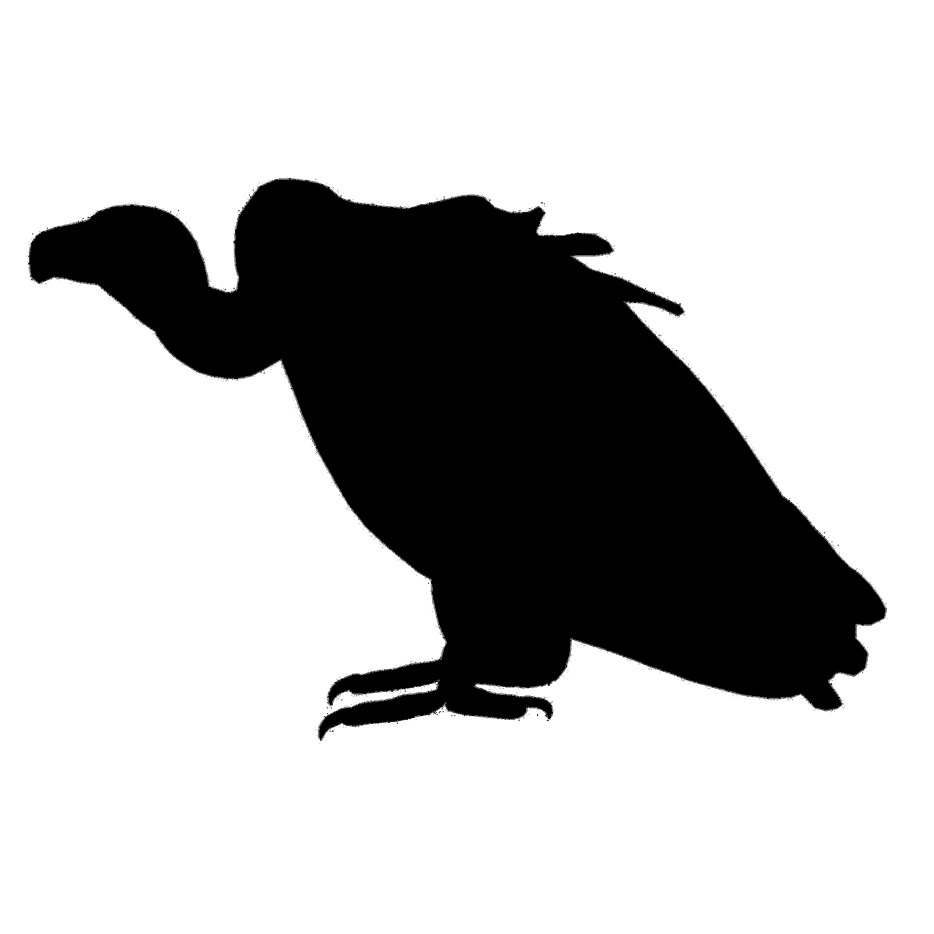1920x1920 Black Vulture Free Stock Photo