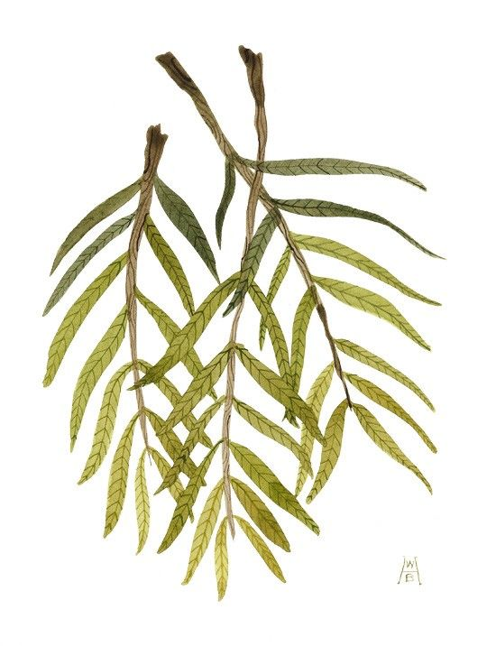 550x716 Weeping Willow Branches Tats Weeping Willow