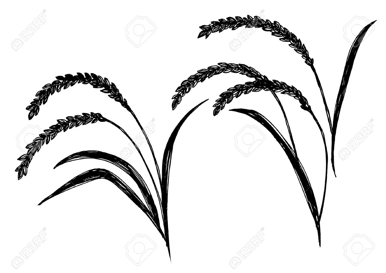 1300x919 Vector Silhouette Of Wheat. Wheat In The Field On A White