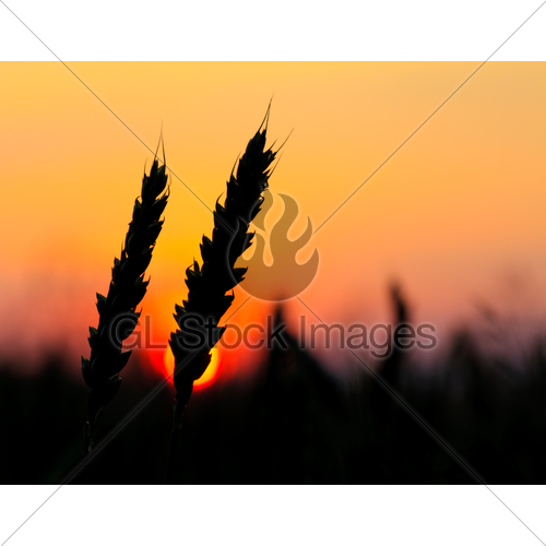 500x500 Wheat Silhouette Gl Stock Images