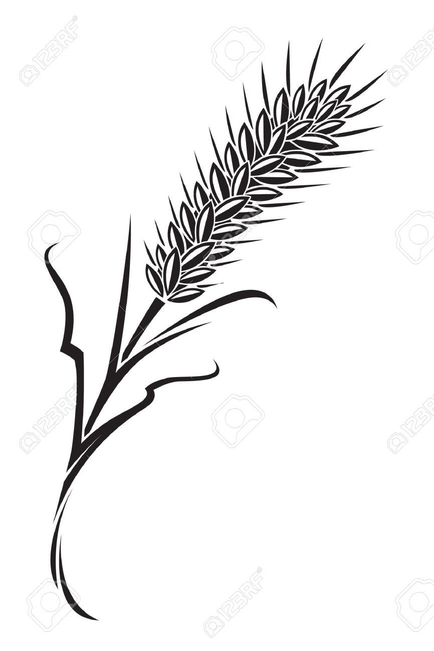 866x1300 Drawn Wheat Paddy Plant