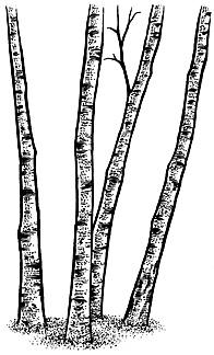 196x324 313g Birch Trees (Sm)