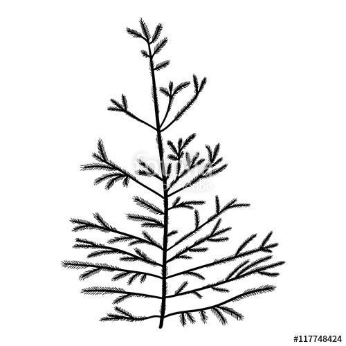 500x500 Pine Tree Isolated On White Background, Silhouette Woods And Fir