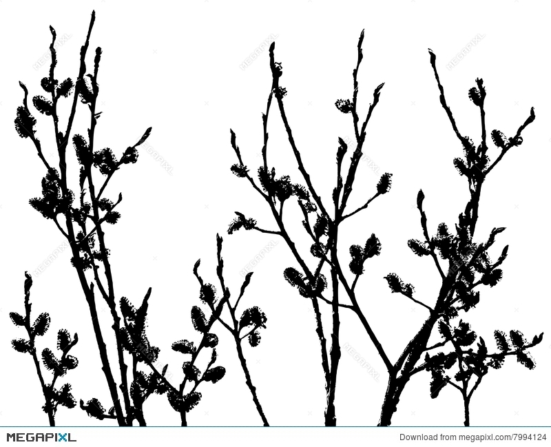800x649 Pussy Willow Silhouette Illustration 7994124