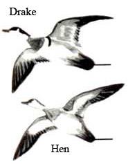 185x237 Wood Duck Flyways.us