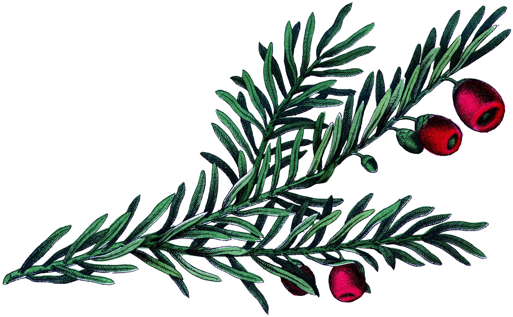1800x1114 Beautiful Botanical Yew Branch Image!