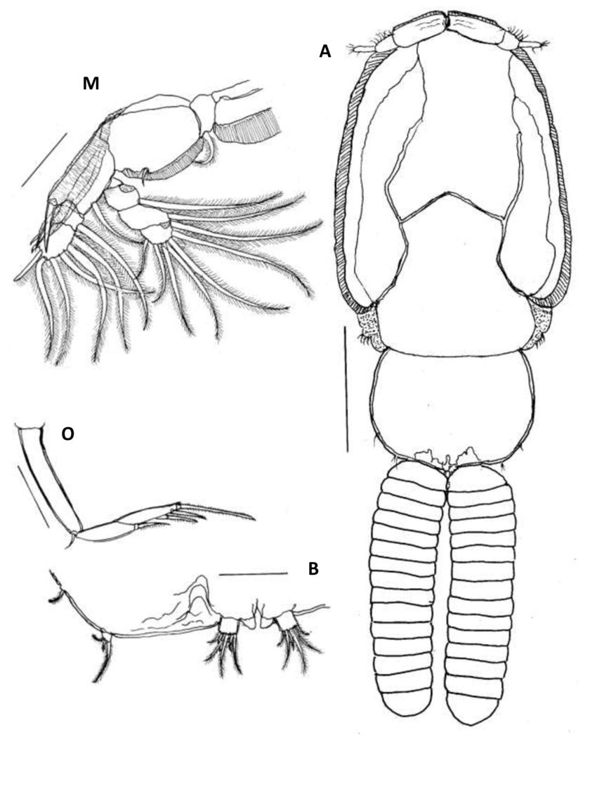 850x1133 Fig. (11) Anuretes Branchialis Rangnekar, 1953 Female A Habitus