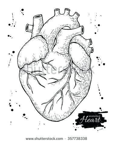 374x470 Anatomical Heart Outline Anatomical Human Heart Engraved Detailed