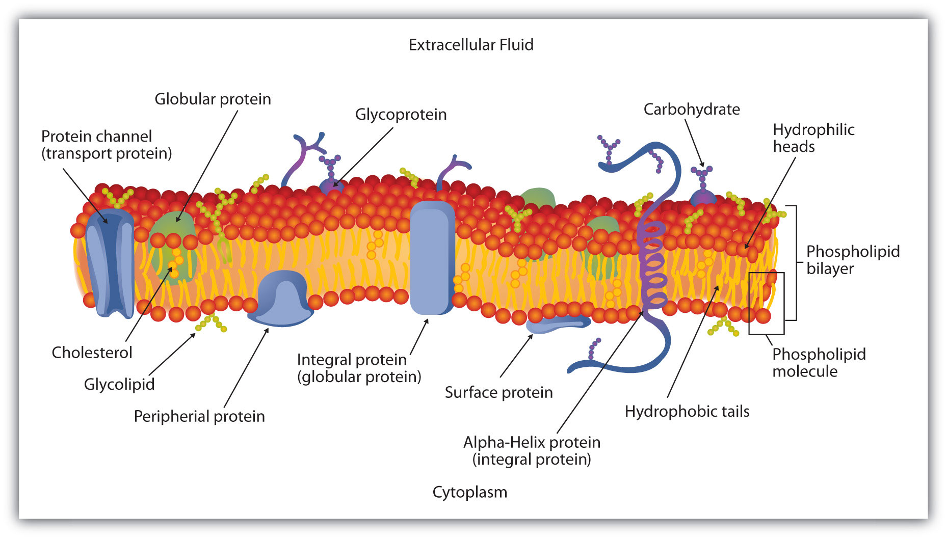 1858x1056 Collection Of Cell Membrane Drawing Project High Quality