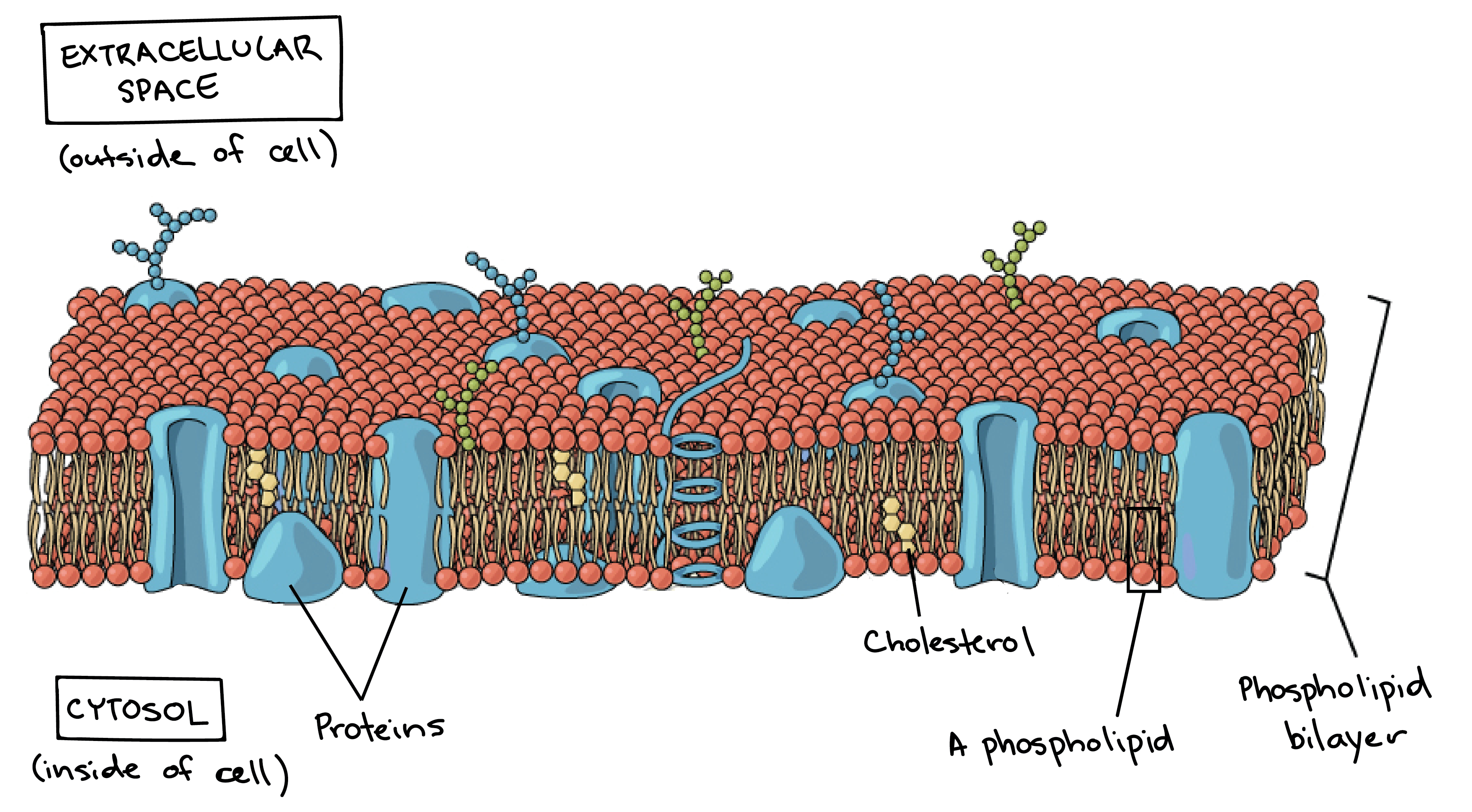 3771x2081 Collection Of Cell Membrane Transport Drawing Project High
