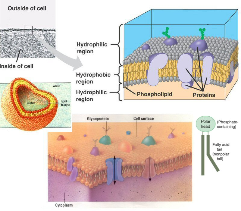 Cell Membrane Project Diagram Diy Enthusiasts Wiring Diagrams