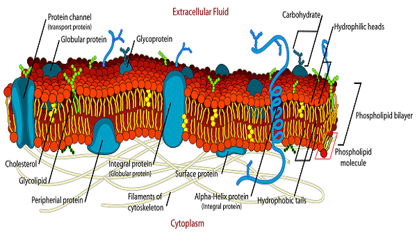 600x340 Plasma Membrane Of A Cell Definition, Function Amp Structure