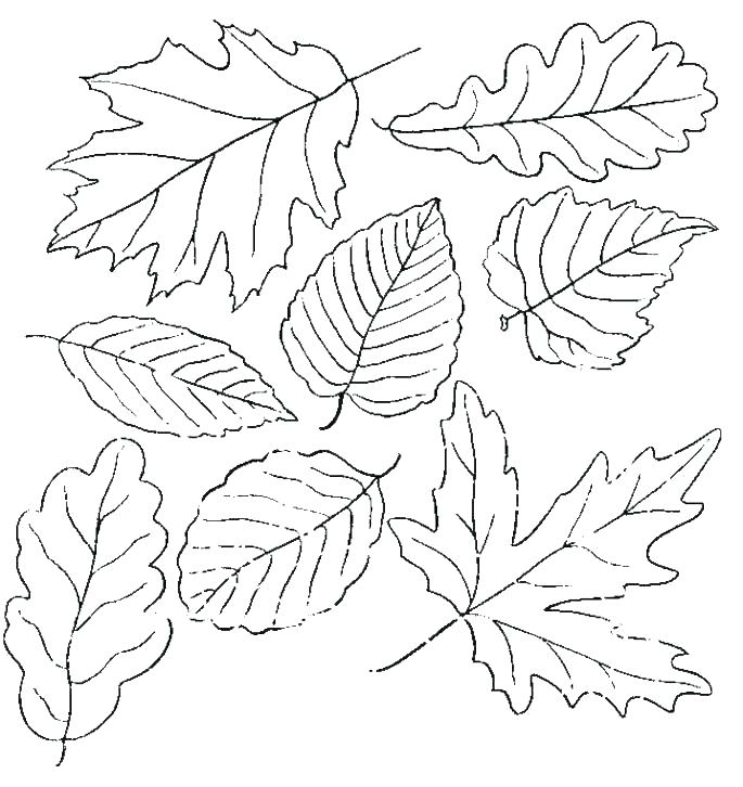 685x726 Autumn Leaves Outline Vector Children Coloring Botanical Terms