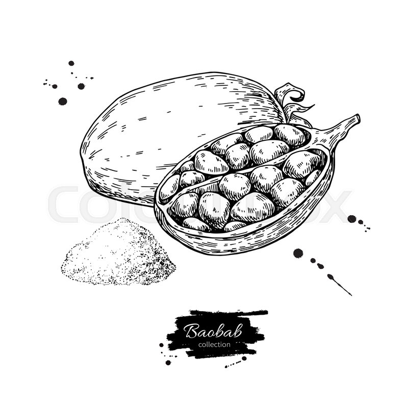 800x800 Baobab Vector Superfood Drawing. Isolated Hand Drawn Illustration