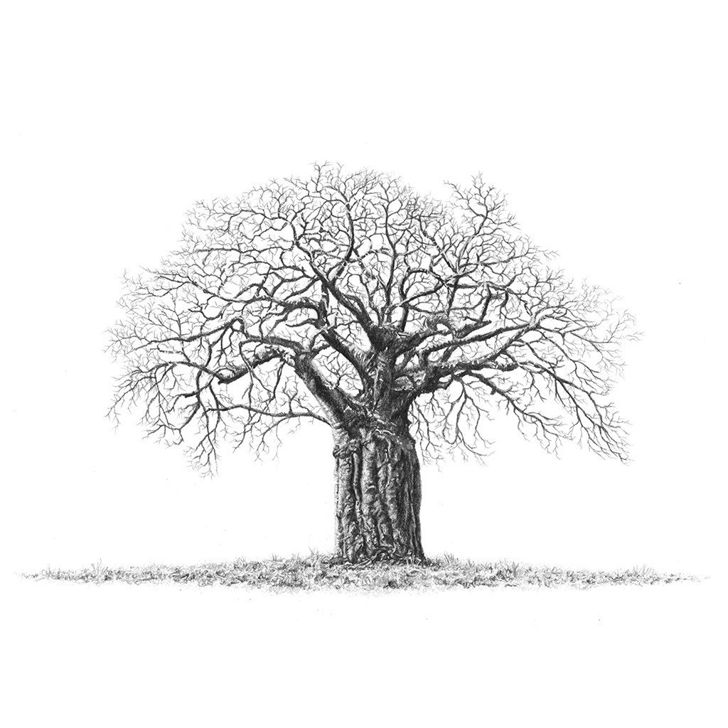 1024x1024 Matthew Bell Sketches, Baobab