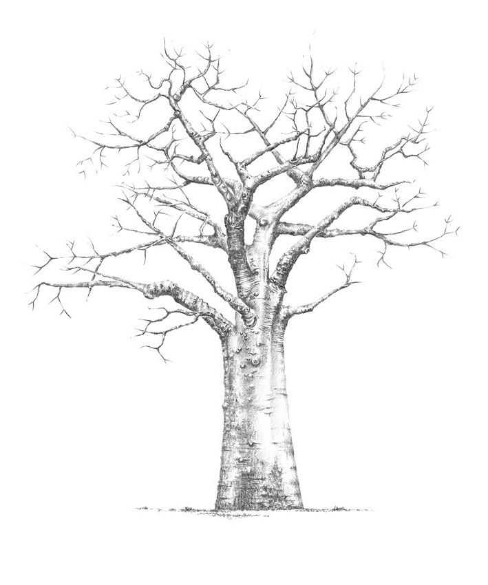 709x850 Baobab
