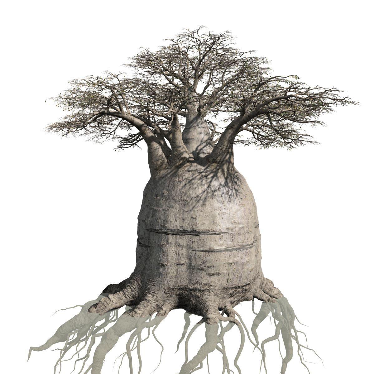 1200x1200 Baobab Field (Australian)
