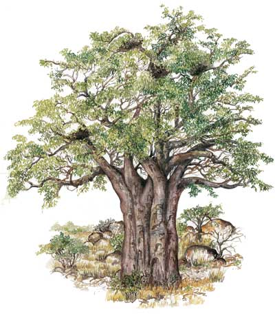 400x456 The Baobab The Slowvelder