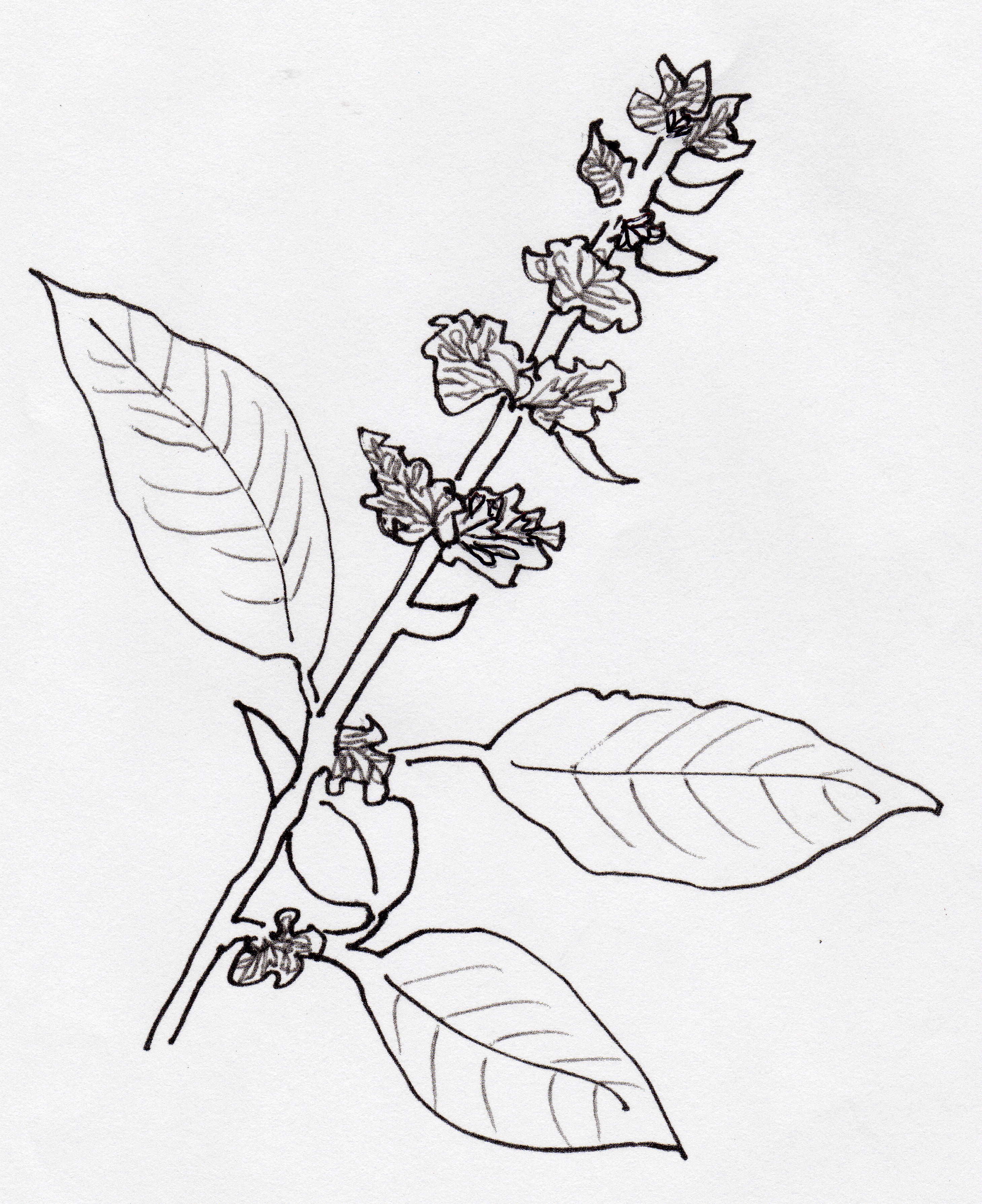 Basil Plant Drawing