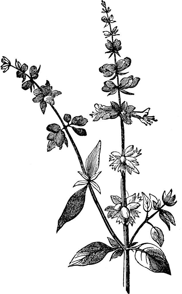 634x1024 Image Result For Thai Basil Flower Drawing Basil Tattoos