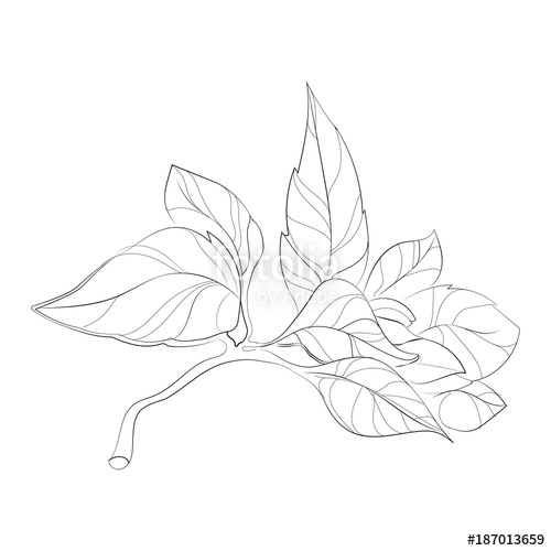 500x500 Vector Illustration Of A Sprig Of Basil. A Bunch Of Basil Leaves