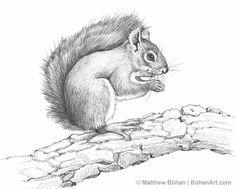 236x189 American Red Squirrel Pencil Sketch Animals