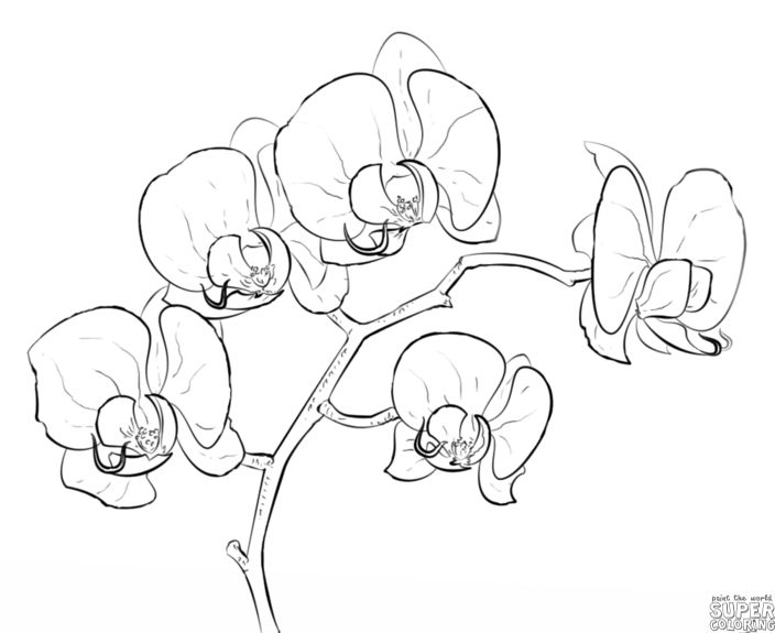 704x575 85 Best Flowers Drawings Of Orchids Images On Orchid