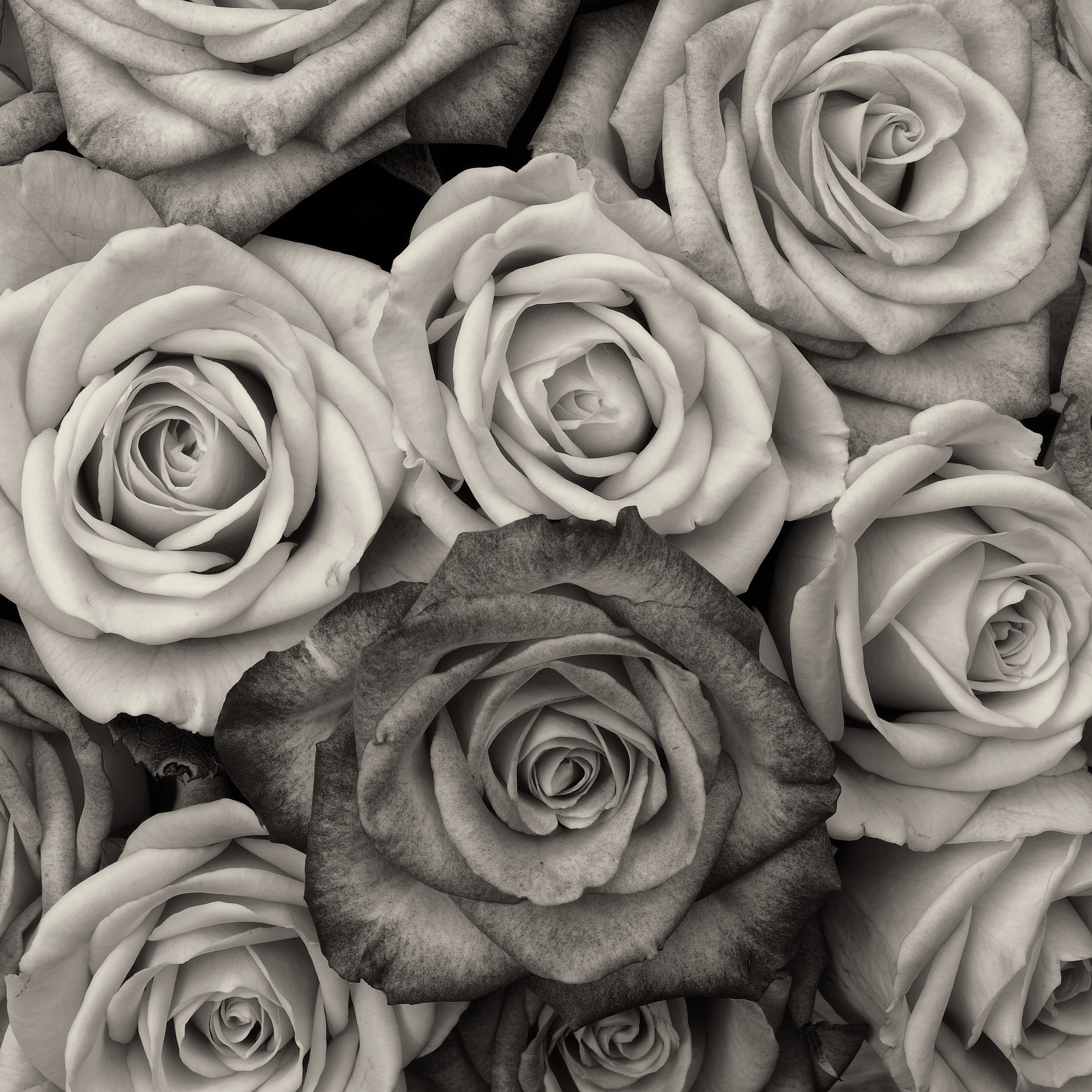 3660x3660 Free Images Black And White, Flower, Petal, Love, Fine Art