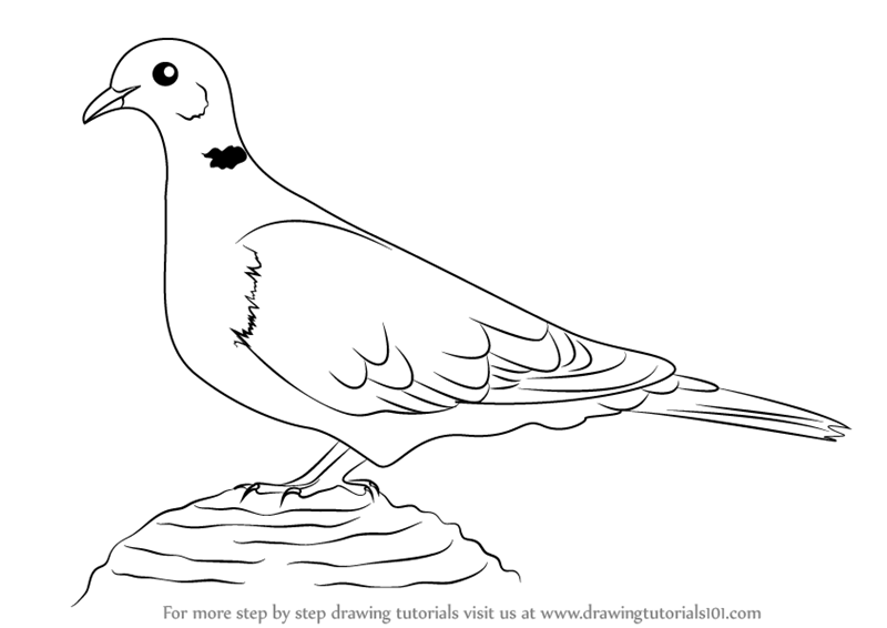 800x566 Learn How To Draw A Collared Dove (Birds) Step By Step Drawing