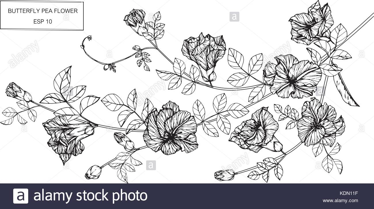 1300x727 Butterfly Pea Flower Drawing Illustration. Black And White